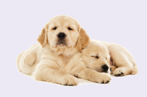 lab_puppies.jpg
