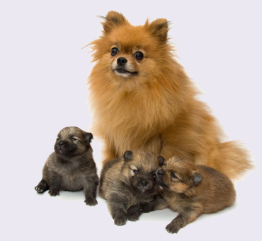 pom_puppies.jpg